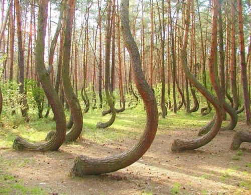 "In a tiny corner of western Poland a forest of about 400 pine trees grow with a 90 degree bend at the base of their trunks - all bent northward. Surrounded by a larger forest of straight growing pine trees this collection of curved trees, or ""Crooked Forest,"" is a mystery."