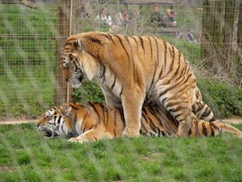 Mating tigers at Marwell Zoo
