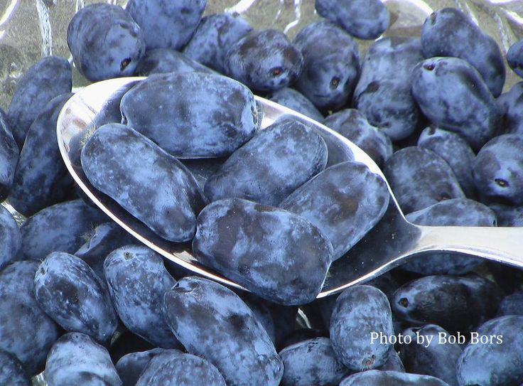 Honeyberry recipes