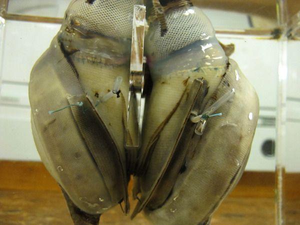 Un bloguer du journal The Atlantic a retrouvé le premier coeur artificiel dans les archives du Smithsonian's National Museum of American History. Il fut inséré dans la poitrine d'Haskell Carp le 4 Avril 1969 à Houston et a été retiré 64 heures plus tard quand un nouveau coeur venant d'un donneur fut disponible. Le coeur …