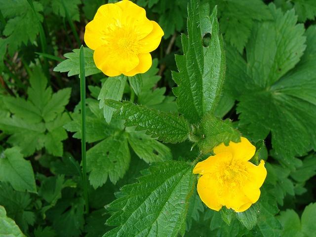 flori de pe muntii mei...