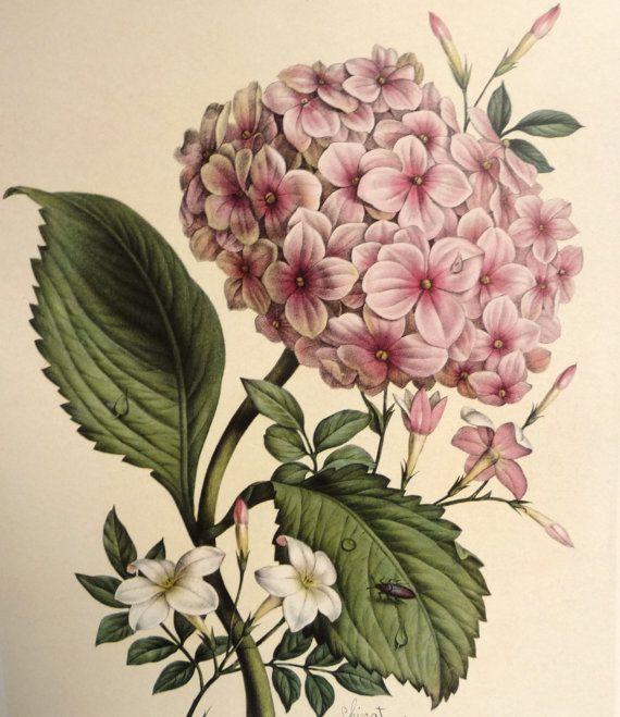 1800s Hydrangea & Jasmine Art Print – Botanical Illustration- Benoit Chirat French- Pink Green White Flowers – Floral Art- 14 1/8″ x 10 3/8″