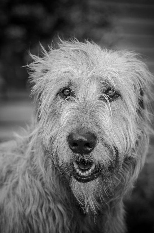 Irish Wolfhound - Badu's face right there!