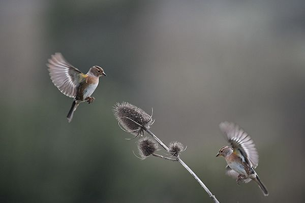 Chaffinches checking out teasel plant - Nature & Wildlife Photography