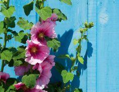 Rose trémière : Une fois bien installée, ne mérite quasiment aucune soin. Elle puise l'eau dont elle a besoin dans le sol. Retirez les fleurs fanées au fur et à mesure. Coupez les tiges en fin de saison, elles repousseront naturellement toutes seules l'année suivante. Dans les régions aux hivers plus frais, protégez le pied avec un paillage. Il est opportun de tuteurer vos roses trémières pour éviter qu'elles ne s'affaissent.