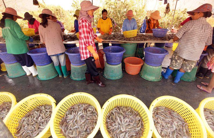 ASIA THAILAND HUA HIN KHAO SAM ROI YOT - a shrimp farm in the Khao Sam Roi Yot Nationalpark on the Golf of Thailand near the Town of Hua Hin in Thailand.