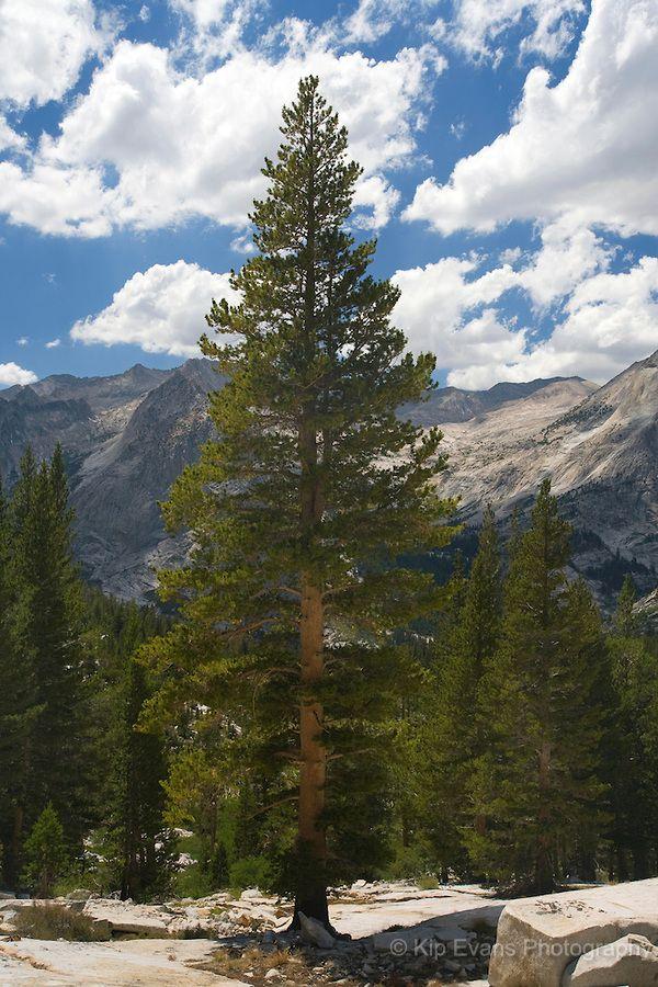 mountains pine trees - photo #10
