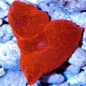 Ventes de Discosoma rouge métallique dans notre boutique en ligne pour sublimer votre aquarium récifal - Coral Biome, Live Cultured Corals