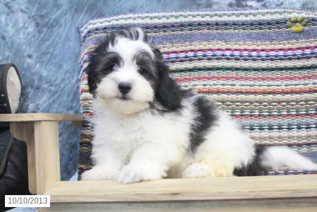 Jud - Shichon Puppy for Sale in millmont, PA - Shichon - Puppy for Sale