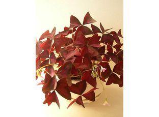 Rostlina   Šťavel purpurový, Čtyřlístek, Oxalis purpurata