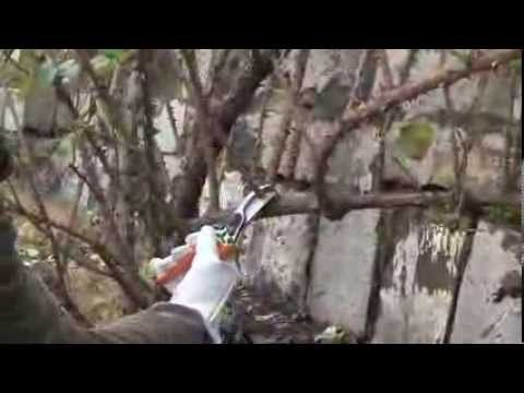 Potatura rose rampicanti: una climber - YouTube