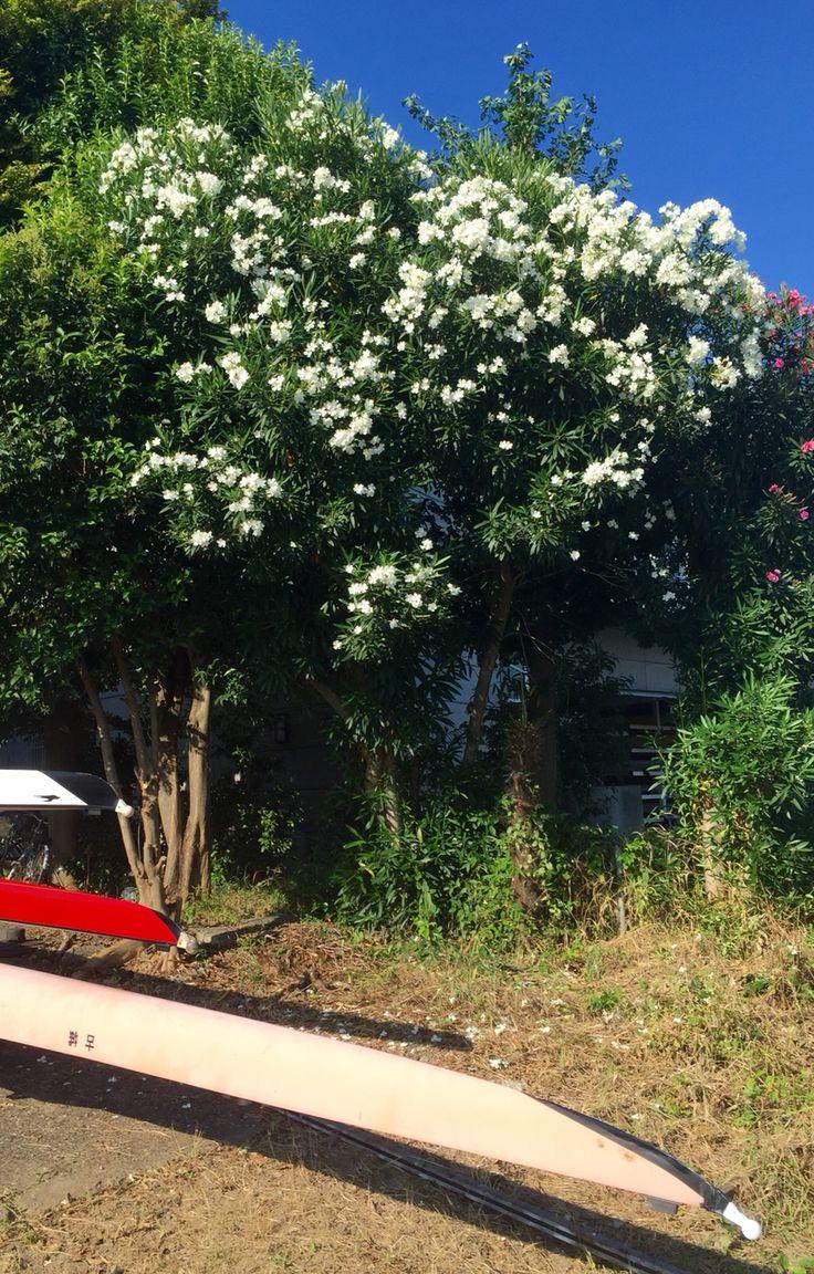 キョウチクトウ白花が咲く、東北大学艇庫。 戸田のレースコース。 東京オリンピックの会場だ。 Race course at Toda, 1964Tokyo Olympic Games