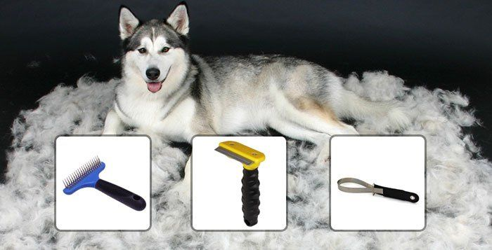 Grooming your Husky: Too many people view grooming of husky as some dreaded chore but it really isn't, the Siberian Husky is a comparatively easy dog to....