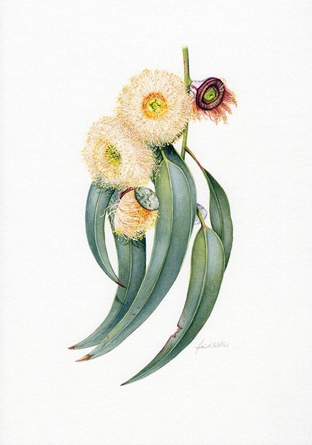 Tasmanian Blue Gum Botanische illustratie ~ Australian Geographic Magazine Issue 130-0
