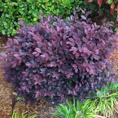 Purple Diamond Loropetalum is ideal as a hedge or an accent in garden beds. Its purple foliage adds color year round, and pink flowers bloom in Spring.
