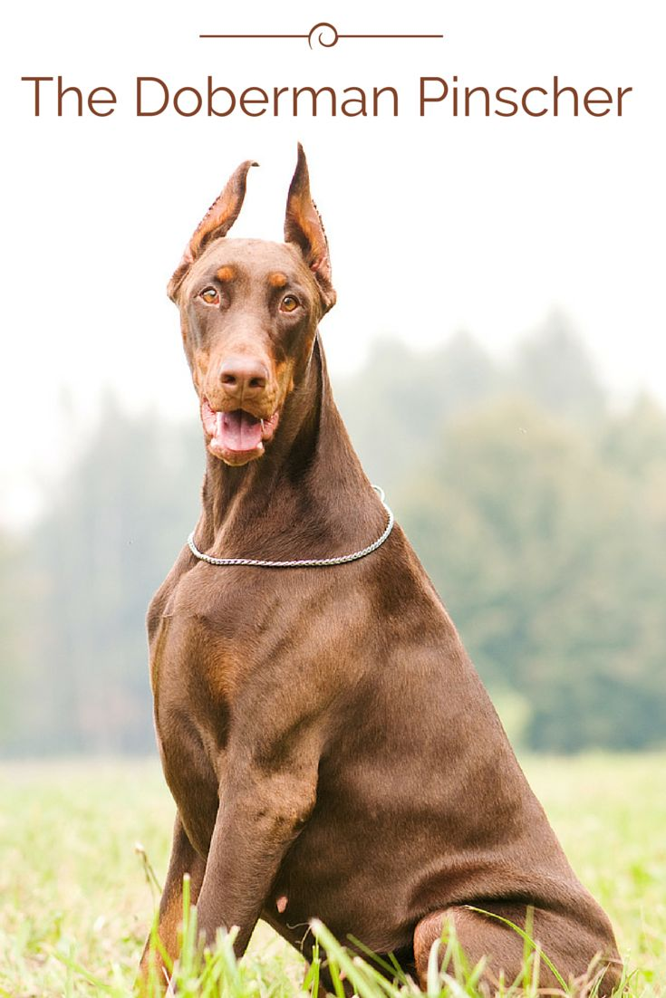 The Doberman Pinscher was first developed in Germany as a guard dog. Once known to be aggressive, the Doberman's temperament has improved through tactful breeding over the years and is now considered a reliable family pet. Click to learn more about this large breed!