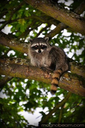 """Raccoon: """"Tree-Climbing In The Late Afternoon; And With Nature, Very Much Attune.""""  (Written By: Lynn.)"""
