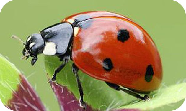 achat coccinelle adulte
