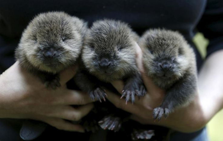 Have a three pack of baby beavers! http://ift.tt/2kZE1MP