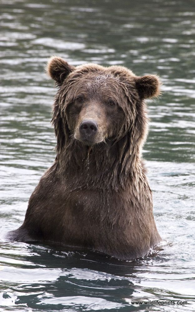 Jeff Syring sits with a group, quietly and with a respectful distance, on the riverbanks of Katmai National Park in Alaska to capture this endearing animal. It's not often you get to stare these bears