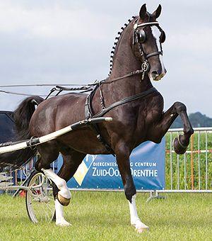 Dutch Harness Horse stallion Delviro HBC