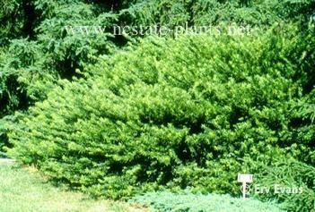 22 best images about garden front on pinterest gardens duke and shrubs for Cephalotaxus harringtonia duke gardens