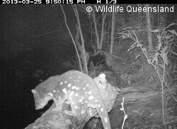 Quoll Seekers Network commenced a survey program in early 2013. By late April, we had success - and 'captured' a quoll on camera in the Mt A... http://www.wildlife.org.au/projects/quolls/index.html
