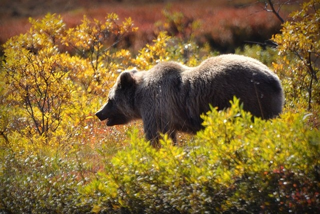 Why letting salmon escape could benefit #bears and fishers #animal: Alaska Animals, Denali National, Wildlife, Alaska Home State, National Parks, Photo, Animals Closest, Grizzly Bears