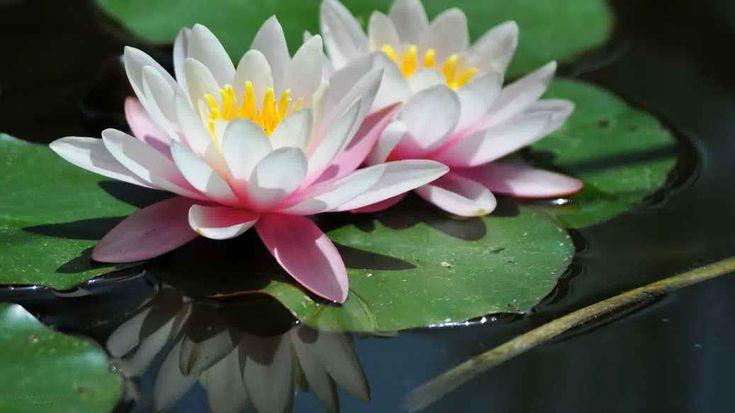 Gambar Bunga Teratai Lucu