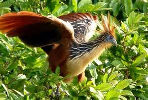 A LIVING DINO-BIRD; THE HOATZIN! Larval hoatzins use an evo shortcut called NEOTYNY to survive! In the Amazon's FLOODED FOREST, hoatzin nestlings in 1st 2 weeks of life are menaced by SNAKES. During spring floods, snakes swim up to the branches to snag hoatzin chicks. So, before their arm bones fuse into wing bones, the chicks get DINOSAUR ARM BONES and swing in the branches like monkeys. The arm bones are EXACTLY bone for bone like dinonychus or archeopteryx!