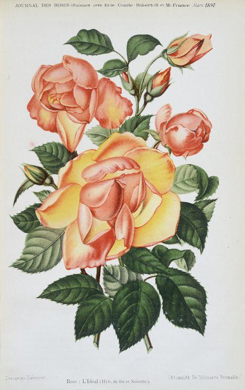 SNHF | Rose : L'Idéal