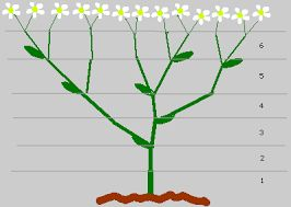 Imagini pentru golden mean plants