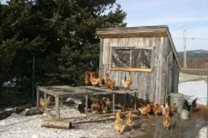 Yea, I'm at it again. Another posting about building chicken coops. It seems that after searching the Internet I find many listings for how to build a chicken coop or where to buy ready to us…