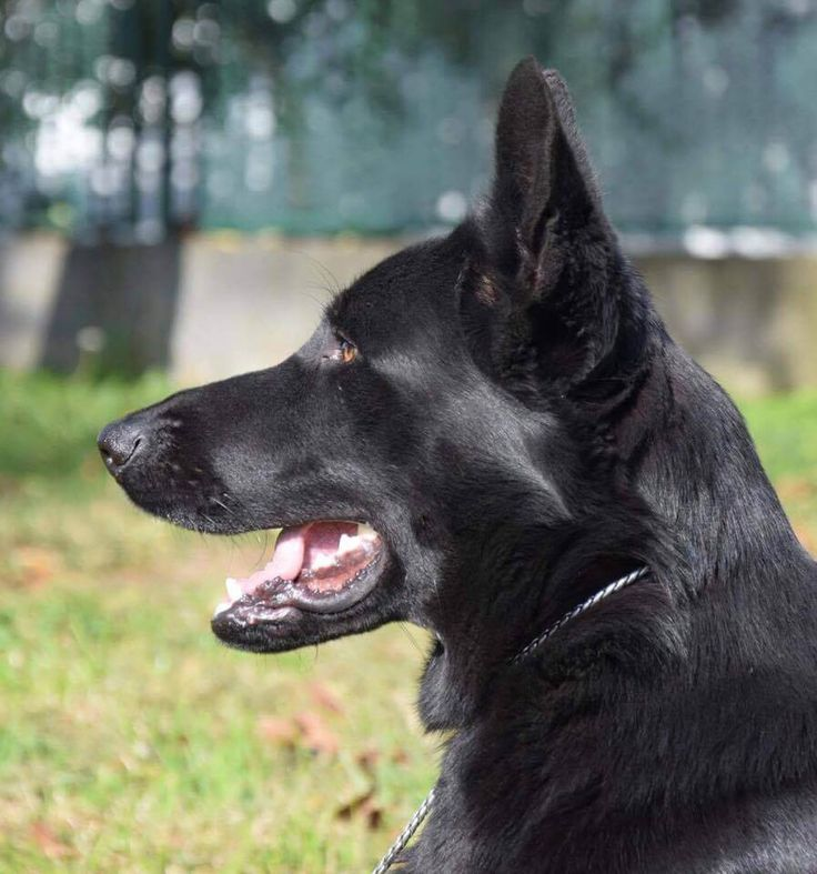 Protection Dogs worldwide train German Shepherd. Call   0785 8120 456 for detail information