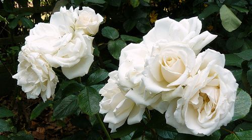 Quot Diana Princess Of Wales Quot Rose Glitter In The Glade