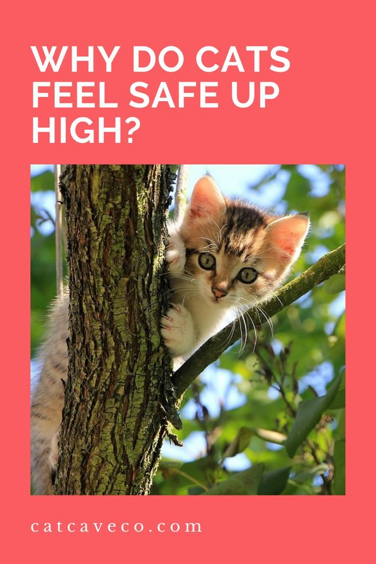 Why Do Cats Feel Safe Up High In 2020 Cats Cat Facts Funny Sweet Animals