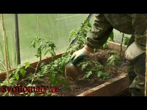 Первая подкормка томатов после высадки - YouTube