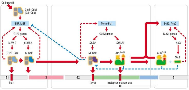Cell-cycle control system, Morgan 3-34 - Cyclin-dependent kinase 1 - Wikipedia, the free encyclopedia