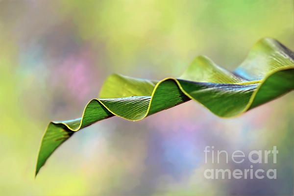 The frond of a tropical Bird's Nest fern with pretty undulations and a textured spring background. #Undulating #Nature by #Kaye_Menner #Photography Quality Prints Cards Products with a money back guarantee at: https://kaye-menner.pixels.com/featured/undulating-nature-by-kaye-menner-kaye-menner.html