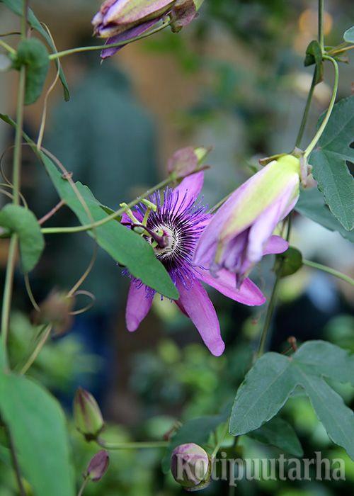 Passionköynnös (Passiflora), Bergianska Trädgård, Tukholma.