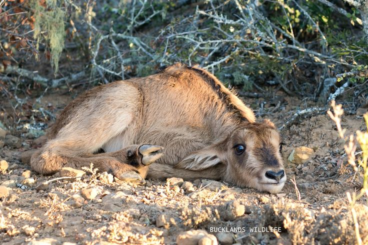 A Sable calf, that we had just tagged for identification purposes, waiting for mommy Sable to return. #photography #sable #sablecalf #sablebreeding  #bucklandsprivategamereserve #africa #southafrica #bucklandswildlife