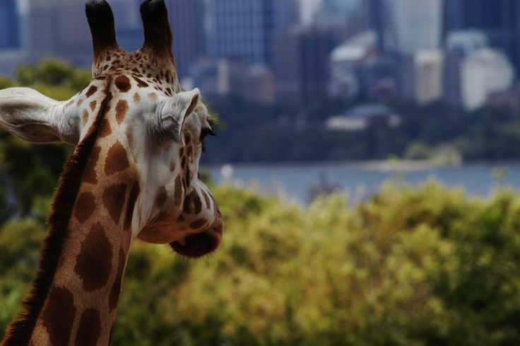 Taronga Zoo - amazing to have it so close to the city centre