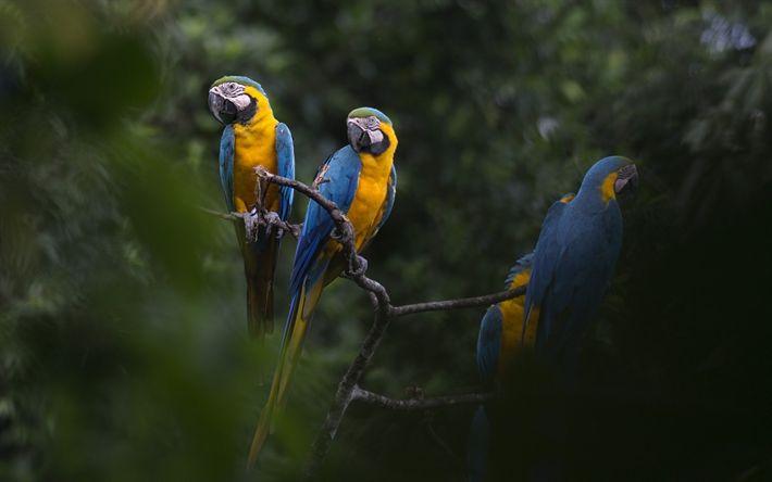 Télécharger fonds d'écran bleu-jaune ara, des perroquets, la forêt tropicale, de beaux oiseaux, oiseaux jaune