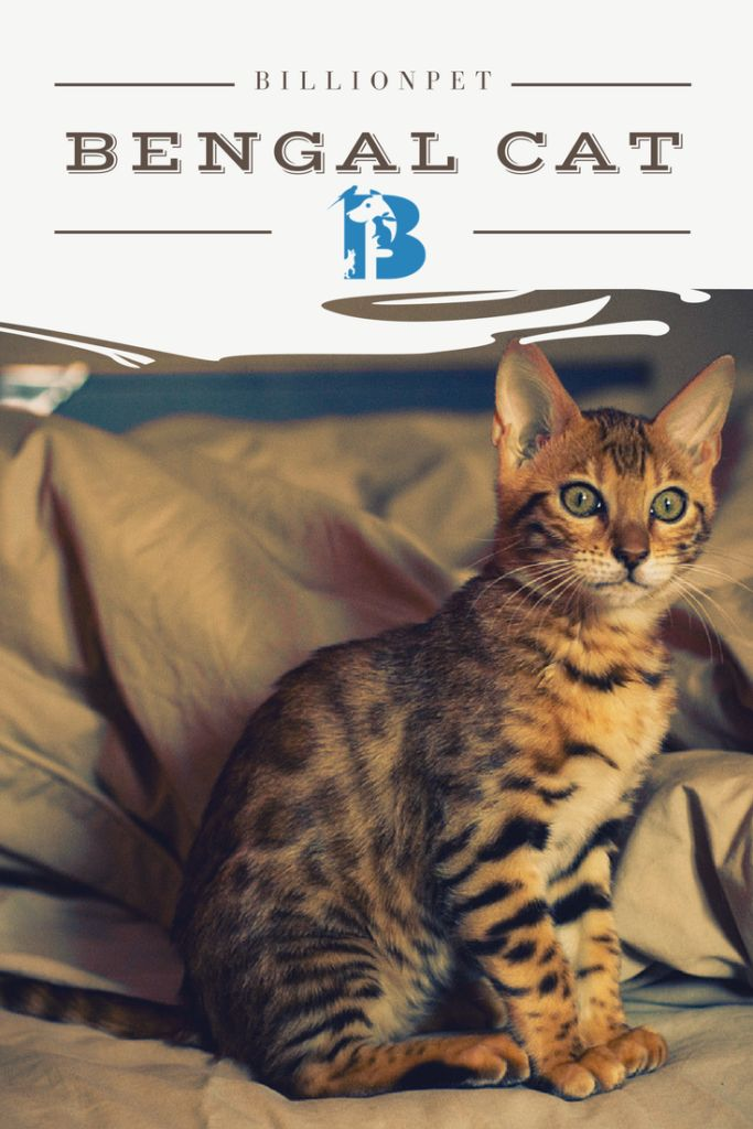 What pushed you to type bengal kittens for sale in google is for sure your desire to adopte one of them, but you do not know from where or what to look for exactly. Worry no more, we are going to…