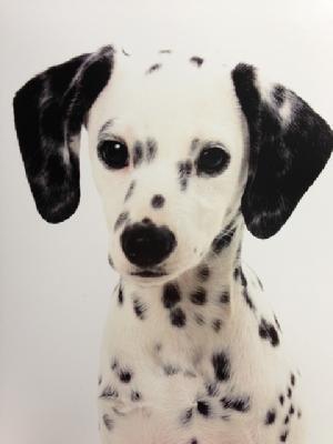 mini dalmatians | The Worlds Only Living Miniature Dalmatians - Photos puppy dogs