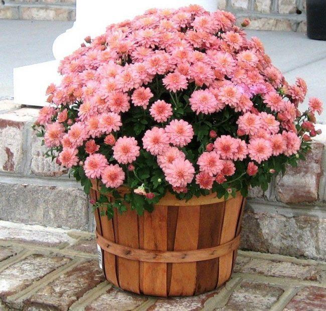 Как выращивать домашние хризантемы своими руками