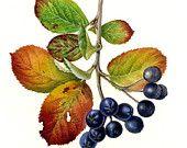Black Chokeberry, original watercolor by Taya Barishev