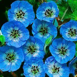 Lavender Garden Cottage: Flower of the Day - Perennial Geranium Buxton's Blue