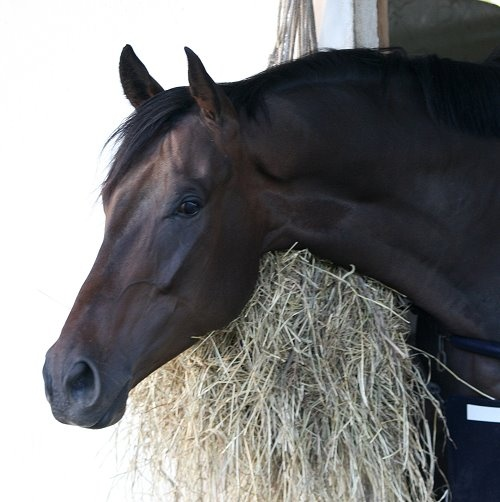 Gallery-Thoroughbred race horse enjoying view from stall