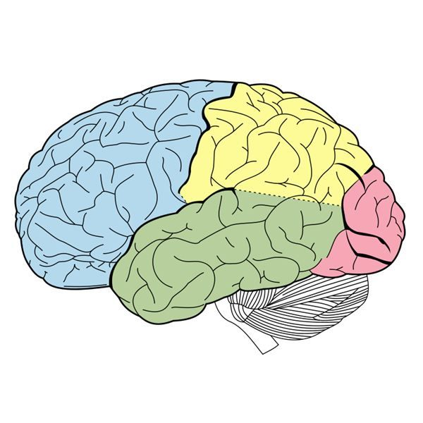 Images of human brain diagram unlabeled spacehero unlabeled lobes of the brain good science pinterest human brain diagram ccuart Image collections